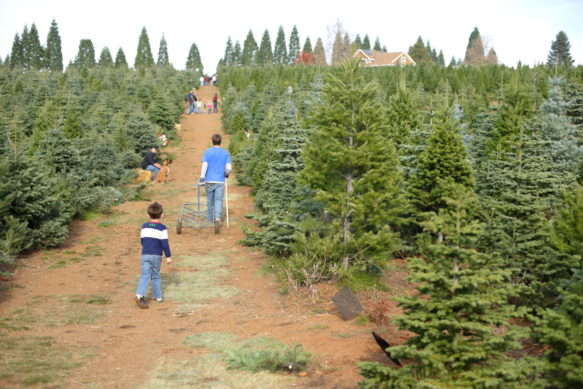 Christmas Tree Care - Fire Prevention and Safety - ASJ